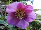 Hellébore rose