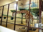 Henry Vilas Zoo,girafes