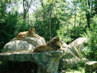 Henry Vilas Zoo,lions
