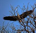 Héron quittant son nid