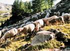Heureux les moutons...