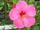 Hibiscus de Madagascar