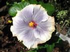 Hibiscus gris aux bords orange pâle