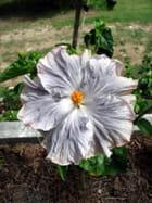 Hibiscus gris aux bords rosés
