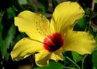Hibiscus ,une fleur qui nos faire rêver.