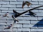 Hirondelles sur le toit