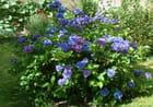 Hortensia bleu et mauve