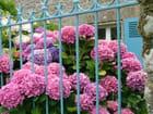 Hortensias et volets bleus