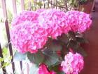 Hortensias roses.