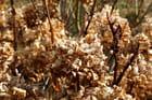 Horthensias en automne