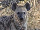 Hyene tachetée