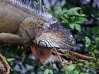 Iguane en liberté