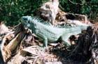 Iguane prenant le soleil