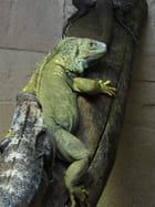 Iguane vert