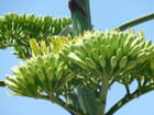 Inflorescence d'agave