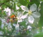 Insecte-pommier-golden