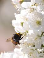 Insecte sur Cerisier en fleur