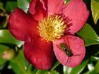 Insecte sur fleur de camélia