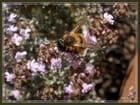 Insecte sur thym