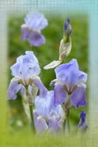 Iris bleu du jardin