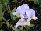 Iris bleu pastel