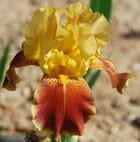 Iris couleur flamboyantes