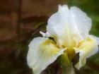 Iris du jardin