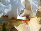 Iris du jardin et son insecte