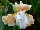 Iris en fleur