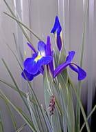 Iris et insecte