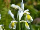 Iris jaune et blanc