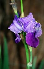 iris mouillé