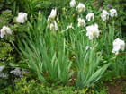 Iris Royal
