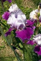 Iris variégata