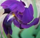 Iris vu sous un autre angle