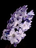Jacinthe bleu