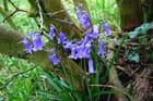 Jacinthes au pied du lilas
