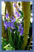 Jacinthes des bois au pied du lilas blanc