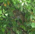 Jaguar bien camouflé