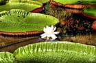 Jardin de Pamplemousse, fleur de lotus