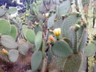 Jardin Exotique (17) Fleurs de Figuier de Barbarie