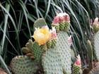 Jardin Exotique (19) Fleurs de Figuier de Barbarie