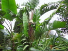 Jardin Exotique (21) Strelitzia Blanc