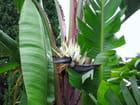 Jardin Exotique (22) Strelitzia Blanc