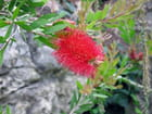 Jardin Exotique (9) Callistemon laevis