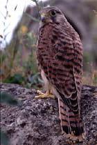 Jeune faucon crécerelle