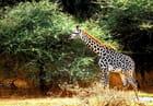 Jeune girafe près de ses acacias chéris.