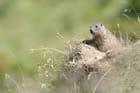 Jeune marmotte à la sortie du terrier