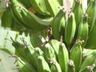 Jeune régime de bananes