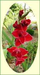 Joli glaïeul rouge bordé de blanc